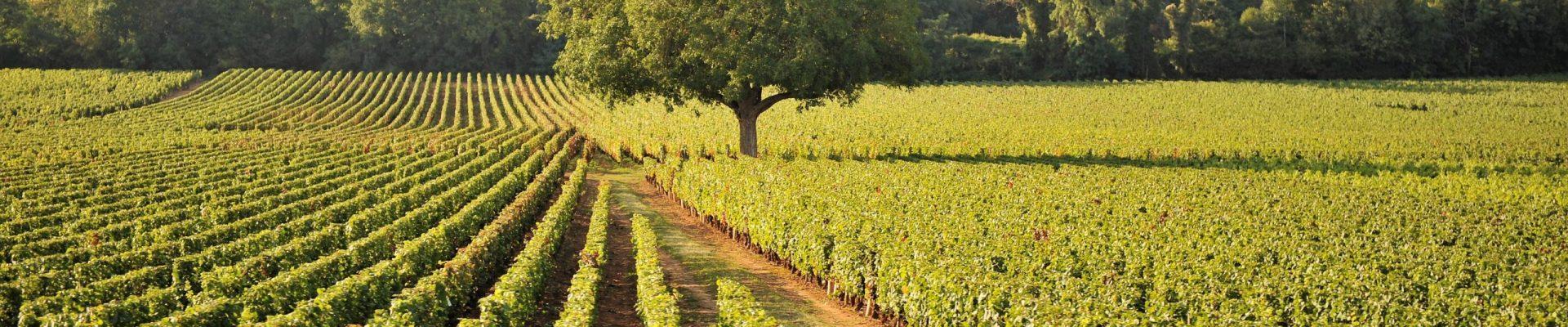 wijngaard1